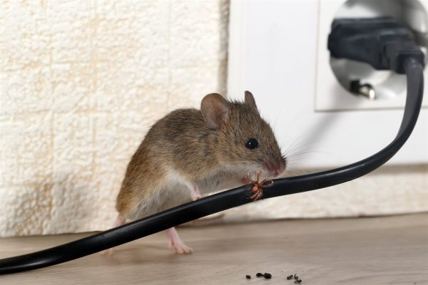 tips to prevent a rat infestation in your home